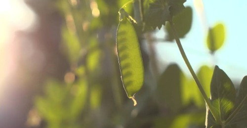 Pea pods on the vine.