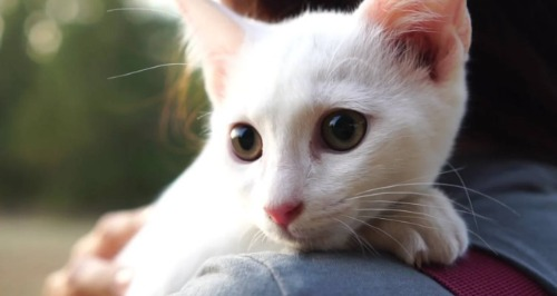 White cat on a lap.